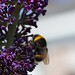 Bumblebee on Buddleja