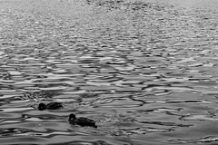 Two of Kind (Owen Kilpatrick) Tags: blackandwhite water duck nikon ducks cumbria tarn nikond3200 talkintarn d3200