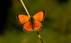 De oro y verde............ (T.I.T.A.) Tags: macro mariposa tita bolboreta lycaena lycaenavirgaureae carmensolla carmensollafotografa carmensollaimgenes
