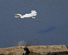 2013_09_14_3610_upd_8x10 (dthrog00) Tags: iowa mississippiriver dubuque greategret 6d birdinflight 70200f4lusm ef14xiiteleconverter