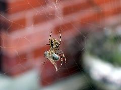 Spider (DaveWilcock) Tags: spider cobweb 52 sh53 scavengerhunt101 aninsectorarachnid 113picturesin2013