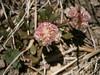 Flowers of Mt Scott (adventures_with_martin) Tags: craterlakenationalpark clnp craterlake pussypaws calyptridiumumbellatum calyptridium montiaceae roundcluster pink white red oregon wfgna