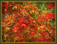 Love those Autumn Leaves (MissyPenny) Tags: autumn orange fallleaves tree fall nature leaves october pennsylvania buckscounty southeasternpa bristolpennsylvania kodakz990 pdlaich