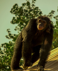 Pan troglodytes (haythammaghraby) Tags: wild nature birds animal zoo monkey nikon saudi arabia ape pan sa troglodytes nikon3200 d3200