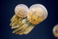 Jellyfish 2 (Joshishi) Tags: ocean fish water aquarium hawaii jellyfish waikiki 105mmf28dmicro