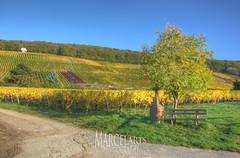 Weinreben im Herbst (marcelarts) Tags: fall berg leaves deutschland colorful hessen wine herbst blatt bunt reben wein eltvilleamrhein