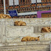 Dogs, sleeping in the daytime, Paro