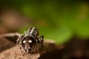 Habrocestum egaeum ♂ (macropoulos) Tags: spider jumping topf50 500v20f greece 500v50f crete endemic animalia arthropoda arachnida araneae salticidae canoneos5d chelicerata canonspeedlite430ex 1500v60f 1000v40f canonmpe65mmf2815xmacro habrocestum egaeum