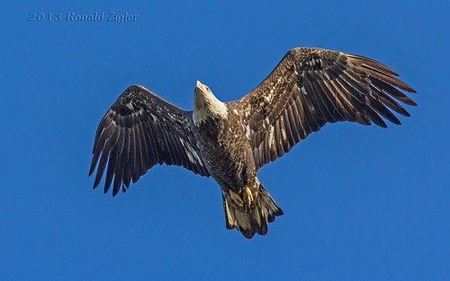 4th Year Juvenile Bald Eagle IMG_8803
