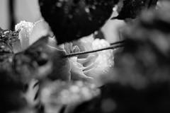 (quatromasdos) Tags: flores digital canon flora ocio 60d canon60d