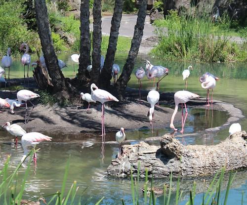 White Ibises with captive Greater Flamingos