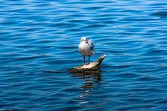"""Je suis la mouette """"surfeuse"""" (Quentin Douchet) Tags: bird animal fauna oiseau mouette faune rserveornithologiqueduteich"""
