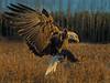 Early Morning Eagle (CR Courson) Tags: baldeagle birdsinflight haliaeetusleucocephalus birdsofprey bif accipitridae hawkseaglesandkites crcourson chuckcourson flickrsfinestimages1 flickrsfinestimages2