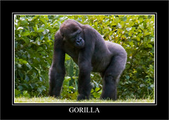 Gorilla (newpeter) Tags: heron birds animals stag wildlife gulls tiger bongo butterflies ducks deer swans leopard rhino otter tigers rabbits creatures otters owls meerkats leopards