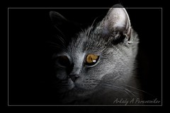 Favorite time (ArkadyP) Tags: animals cat canon kitten chat 500v20f scottish 500v50f gato katze straight gatito chaton autofocus кошка ruby3 coth 1000v40f impressedbeauty katzchen platinumheartaward скоттиш thebestofday gününeniyisi шотландская catmoments alittlebeauty bestcapturesaoi coth5 coppercloudsilvernsun прямоухая ringexcellence dblringexcellence tplringexcellence ruby10 ruby15 eltringexcellence sunrays5 vigilantphotographersunite страйт