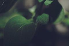 Oregano {016:365} (Conanetta) Tags: plant macro green leaf january elements 365 herb oregano 2014 hpad
