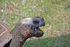 Galapagos Giant Tortoise Gaping