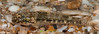 Sonora Goby (Gobiosoma chiquita) (NatureStills) Tags: ocean sea wild fish slr nature animal fauna sonora swimming mexico highresolution nikon marine natural outdoor wildlife border stock nopeople professional mexican international latin northamerica nikkor dslr reef sonoran biology mx tidepool identify biological slimy puertopenasco rockypoint seaofcortez coralreef gills gulfofcalifornia d300 organism newworld northernmexico wildlifephotography naturestills scotttrageser httpwwwnaturestillscom gobiosomachiquita sonoragoby