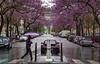 Mauve (Michel Couprie) Tags: street trees paris france rain umbrella fleurs canon eos blossom pluie arbres 7d michel rue arcdetriomphe parapluie ef50mmf18 couprie