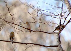 Three in a tree (tommaync) Tags: sky tree bird eye nature animal closeup three nc nikon branches tail beak feathers northcarolina finch trio february 2014 chathamcounty yellowfinch d40