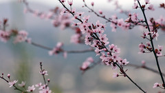 plum blossoms (fromkmr) Tags: plumtree plumblossoms sonya580 {vision}:{sky}=066 {vision}:{outdoor}=0838 {vision}:{plant}=0692