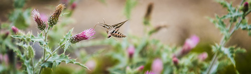 Sphinx Moth of Bryce