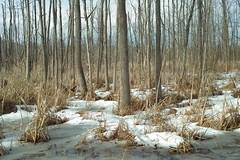 ashes in sun (wood_owl) Tags: trees winter ohio sun snow color ice nature swamp ash marsh february exploration cuyahogavalleynationalpark anopportunity dickersonsswamp theadvantagesofwinter
