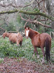 manna from heaven (romorga) Tags: winter wild horses horse green nature holly pony chestnut ponies newforest equine feral 2014 forestmanagement equss romorga