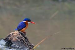 DSC_3377 (Arno Meintjes Wildlife) Tags: africa nature animal southafrica wildlife safari krugerpark bird1 malachitekingfisher alcedocristata arnomeintjes