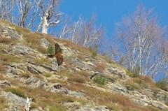 Au loin, des rapaces (Seix/Arige) (PierreG_09) Tags: oiseau pyrnes pirineos arige rapace capvert quebrantahuesos lasserre seix bartgeier gypate beardedvulture gypaetusbarbatus gypatebarbu couserans
