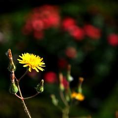 Fiori poveri (fiumeazzurro) Tags: chapeau fiori bellissima abigfave anthologyofbeauty