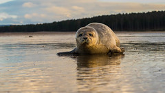 There is no such thing as a fair fight; all vulnerabilities must be exploited (d.wilesmith) Tags: sunset sea beach nature beautiful scotland seaside sand nikon sad injury sealife seal handheld f28 moray injured findhorn pinniped d600 2470