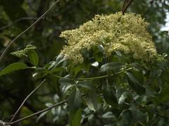 Sambucus mexicana (Weeding Wild Suburbia) Tags: park gardens publicgardens spnp