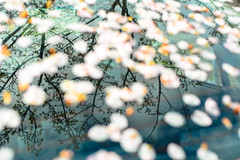 Windshield (Penseroso) Tags: seattle reflection tree car spring blossoms ballard windshield marketstreet