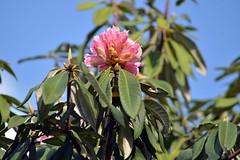 Pink Rhododendron (Sougata2013) Tags: india mountain flower nature spring nikon hill rhododendron mandi hilltop himachalpradesh nikond3200 pinkrhododendron dianapark