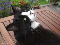 Snow White posing (Finn Frode (DK)) Tags: cats pose snowwhite mixedbreed fairest domesticshorthair snehvide