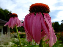 Echinacea purpurea (yewchan) Tags: flowers flower nature colors beautiful beauty closeup garden flora colours echinacea gardening vibrant blossoms coneflower blooms lovely purpleconeflower echinaceapurpurea