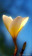 Chafa Flower or Plumeria (Devidas Deokar) Tags: flowers blue red wild white flower nature colors beautiful beauty yellow nokia colours natural plumeria ngc bud n8 chafa