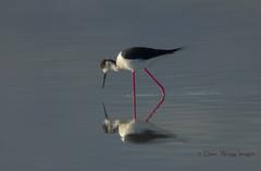 Black-Winged Stilt (Dave @ Catchlight Images) Tags: