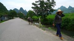 Yang Shou - Karst mountains and cow (Thedeeves) Tags: china travel liriver countryside asia guilin chinese karst yangshou guangxi xingping karstmountains guangxizhuang