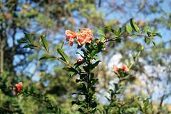 nar çiçeği, en sevdiğim