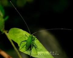Small and Long (Samuel.Dai) Tags: macro nature animal nikon singapore bokeh wildlife insects animalplanet d800 105mm 2xteleconverter pasirrispark samueldai