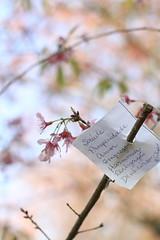 bosque das cerejeiras iv (sandnfoam) Tags: park pink flower tree nature cherry 50mm blossom availablelight sopaulo branches flor naturallight hanami naturephotography cerejeira parquedocarmo sooc branchesagainstthesky canoneosrebelt1i