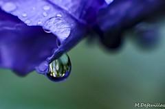 Il pleut... (martinedefeuillas) Tags: blue rain azul lluvia blu jardin pluie bleu pioggia goutte gotta