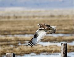 'skittish' ~ Explored (d-lilly) Tags: flight sierravalley roughleggedhawk winter sierravalley2017