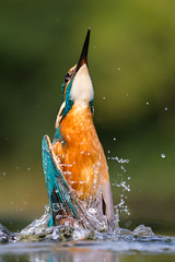 Kingfisher (Mr F1) Tags: alcedoatthis kingfisher johnfanning bif birdsinflight electricblue emergence detail water feathers nature outdoors wild uk colourful colour color