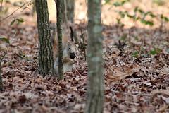 IMG_1969 (marianabmcruz) Tags: parquebiológicodegaia parquebiológico biologicalpark outdoors outdoor nature natureza animal animals fauna esquilo squirrel squirrels