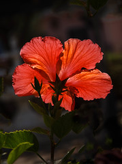 Backlit Hibiscus (http://fineartamerica.com/profiles/robert-bales.ht) Tags: arizona foothills hibiscus places plants states backlit backlighting flowers plant red hibiscusdisambiguation mallow subtropical sorrel flordejamaica rosemallow perennial herbaceous shrubs tree trumpetshaped white pink orange yellow beautiful sensational spectacular magnificent peaceful robertbales magical colorful canonshooter haybales wow stupendous butterflies bees hummingbirds petal nature flower bloom floral blossom iphone blue greetingcards