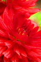 Everyone is posting flowers! (NancySmith133) Tags: dahlia flowers frontyardgardens godsgarden centralfloridausa