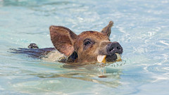 Young pig swimming with toast (Tambako the Jaguar) Tags: young holding mouth toast bread pig swimming exuma cay cute sea beach bahamas island vacation nikon d5